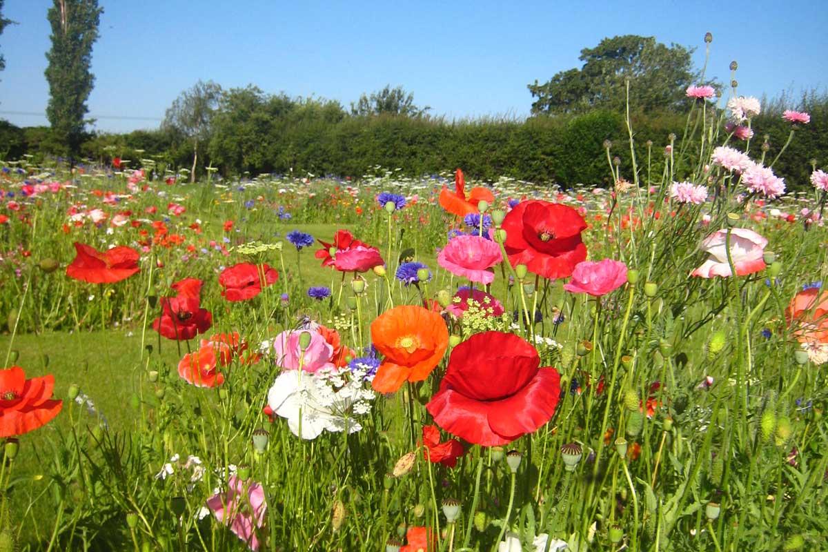 Benson wild flower meadow garden design co for Wildflower garden designs
